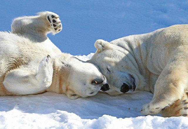 Polar Bears at the Buffalo Zoo