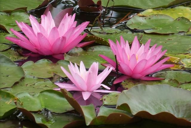 Water Lilies at Reinstein Woods