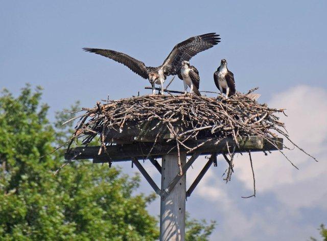 ospreyinnest.jpg