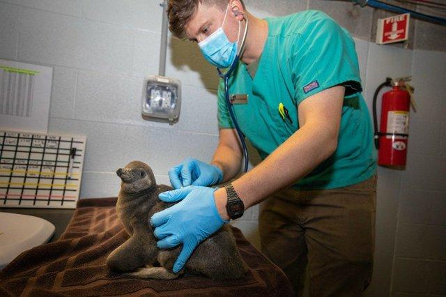 Baby Penguine With Vet