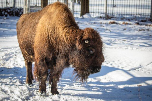 Bison Winter.jpg