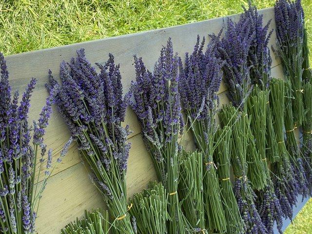 Lavender-Drying.jpg